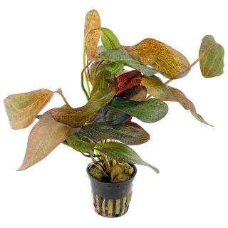 Эхинодорус «Оцелот» (Echinodorus «Ocelot»)