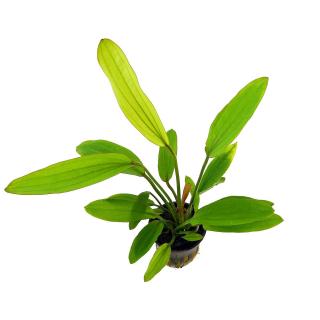 Echinodorus «Rose»