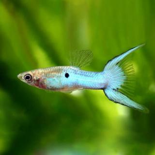 Гуппи Эндлера Japan Blue - (Poecilia Wingei)