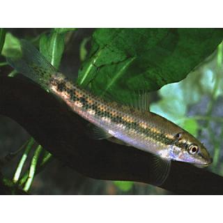 Гиринохейлус Серый - (Gyrinocheilus Aymonieri)