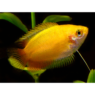 Гурами Желтый - (Trichogaster Trichopterus)
