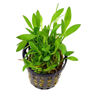 Хелантиум нежный «Широколистный» (Helanthium tenellum «Broad Leaf»)