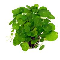Щитолистник мутовчатый (Hydrocotyle verticillata)