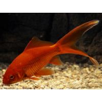 Золотая Рыбка, Комета красная - (Carassius Auratus)