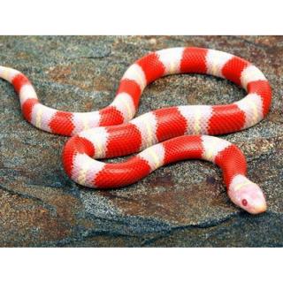 Змея Молочная Королевская