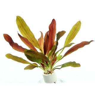 Эхинодорус «Хамелеон красный» (Echinodorus «Red Chameleon»)