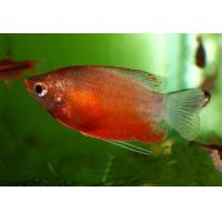 Гурами Медовый - (Trichogaster Trichopterus)