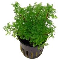 Перистолистник матогросский зеленый (Myriophyllum matogrossense)