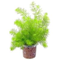 Перистолистник зеленый (Myriophyllum scabratum)