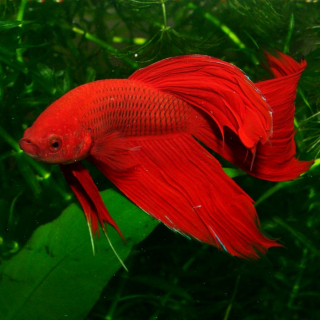 Петушок Вуалевый Красный - (Carassius Auratus)