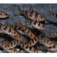Барбус Ромбоцелатус - (Puntius rhomboocellatus)