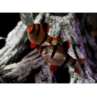 Барбус Суматранский - (Puntius Tetrazona)