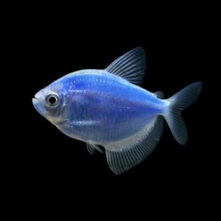Тернеция Голубая- (GloFish)