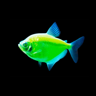 Тернеция Зеленая - (GloFish)