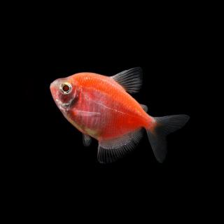 Тернеция Оранжевая - (GloFish)
