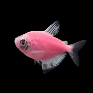 Тернеция Розовая - (GloFish)