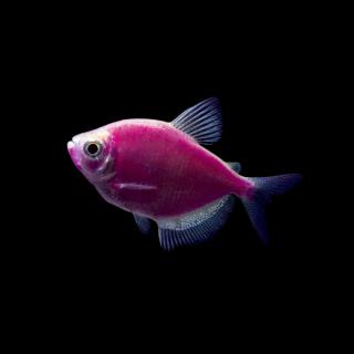 Тернеция Фиолетовая - (GloFish)
