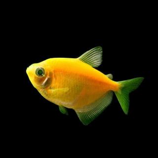 Тернеция желтая- (GloFish)