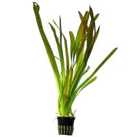 Vallisneria australis
