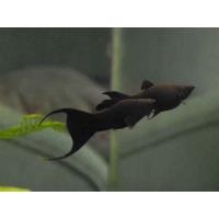 Моллинезия Лирохвост Черная Лира - (Mollienesia Sphenops)